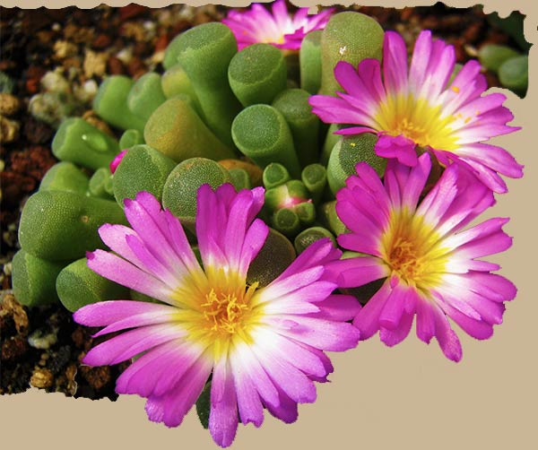 frithia pulcra