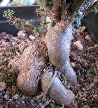 trichodiadema bulbosum particolare delle radici