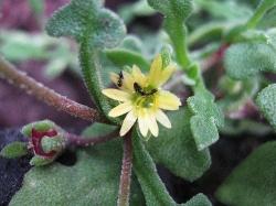 Aethephyllum pinnatifidum