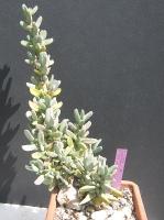 Antimima alborubra-1