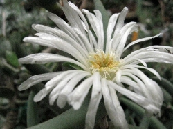Astridia alba