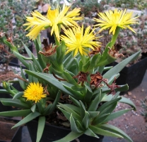 Bergeranthus artus