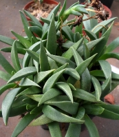 Bergeranthus umtata