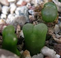 Conophytum acutum