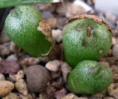 Conophytum aureiflorum