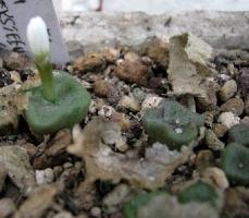 Conophytum cubicum