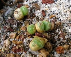 Conophytum danielii
