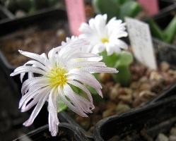 Conophytum devium stiriferum