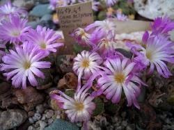 Conophytum ectypum brownii