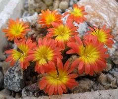 Conophytum ectypum cv. mabel's fire