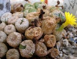 Conophytum ectypum giallo x giallo