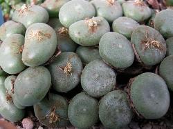 Conophytum ernstii