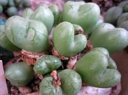 Conophytum ficiforme