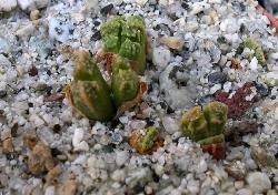Conophytum khamiesbergense