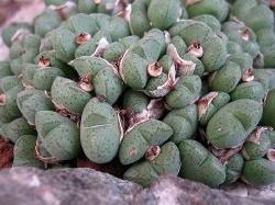 Conophytum klinghardtense