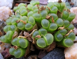 Conophytum limpidum
