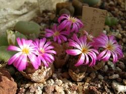 Conophytum lithopsoides arturolfago