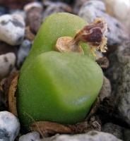 Conophytum maughanii