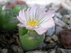 Conophytum maughanii latum