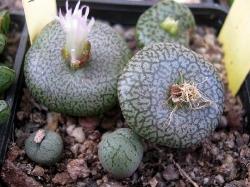 Conophytum obcordellum ceresianum
