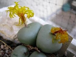 Conophytum ornatum