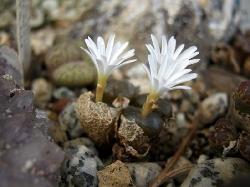 Conophytum pellucidum cupreatum