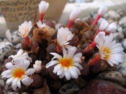 Conophytum pellucidum lilianum