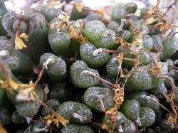 Conophytum pellucidum neohalli