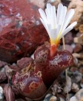 Conophytum pellucidum terricolor
