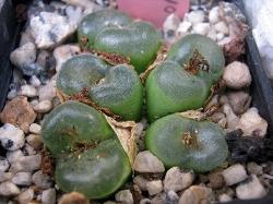 Conophytum phoeniceum