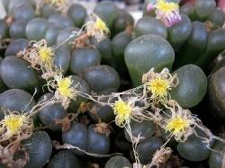 Conophytum praesectum