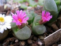 Conophytum pubescens