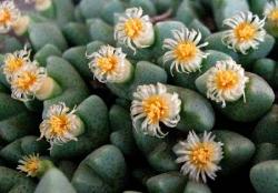 Conophytum quaesetum rostratum