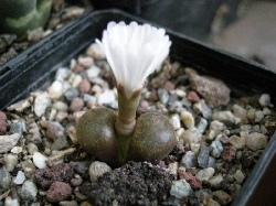 Conophytum sp.