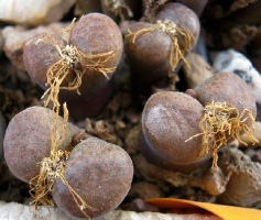Conophytum sp. sidi barani