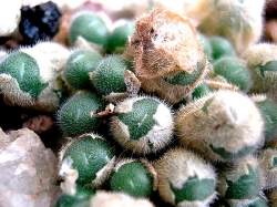 Conophytum stephani