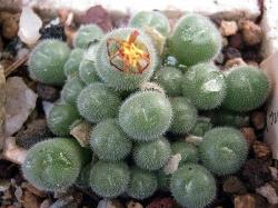 Conophytum stephani abductum
