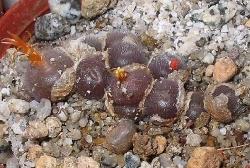Conophytum stephani helmutii
