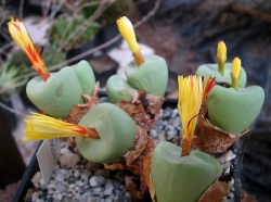 Conophytum subrisum