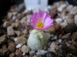 Conophytum subterraneum