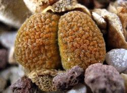 Conophytum verrucosum
