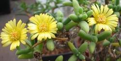 Delosperma aff. crassum