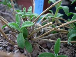 Delosperma longipes