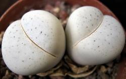 Dinteranthus vanzylii puntinato