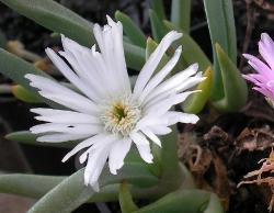 Ebracteola wilmanniae