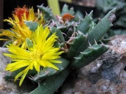Faucaria sp. mostruosa