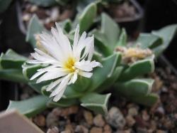 Faucaria boscheana albiflora