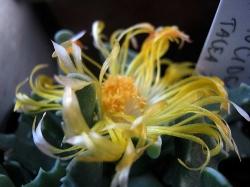 Faucaria paucidens