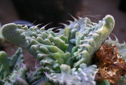Faucaria tuberculosa