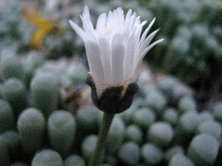 fenestraria-rhopalophylla